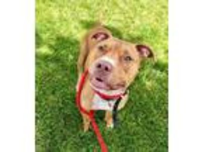 Adopt Skrappy a Brown/Chocolate American Pit Bull Terrier / Mixed dog in Kansas