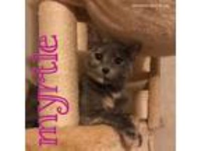 Adopt Myrtle a Tortoiseshell Domestic Shorthair / Mixed (short coat) cat in Ben