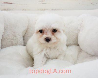 Maltese Puppy - Male - Cleo ($2,300) CKC REGISTERED