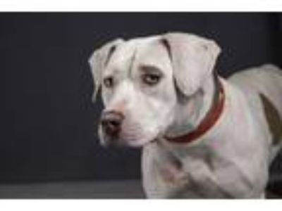 Adopt STAR a Pit Bull Terrier, Mixed Breed