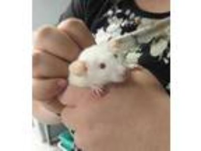 Adopt Ghost a White Rat / Rat / Mixed small animal in Kenosha, WI (25339501)