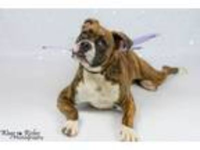 Adopt Rosie - Adoption Fee waived for right family a Boxer