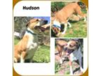 Adopt HUDSON a White - with Brown or Chocolate Treeing Walker Coonhound / Mixed