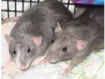 Adopt The Jem Girls: Pizzazz, Roxy, Stormer, Jetta, Phoebe, Minx a Rat