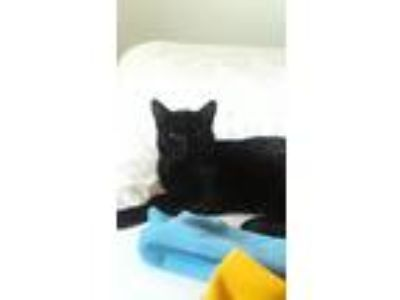 Adopt Onyx a All Black Domestic Shorthair cat in Colorado Springs, CO (25365954)