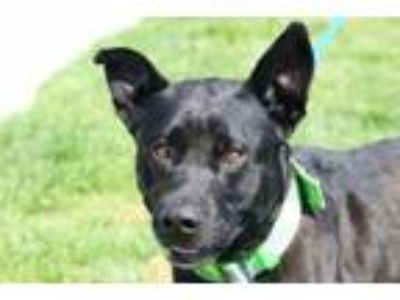 Adopt Ellis a Labrador Retriever, Terrier