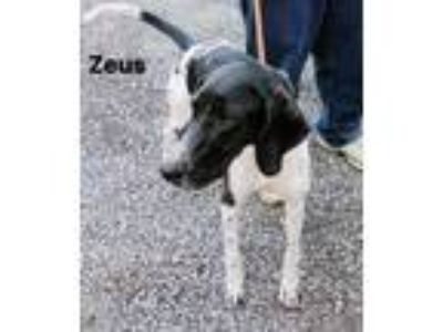 Adopt ZEUS a Pointer, Great Dane