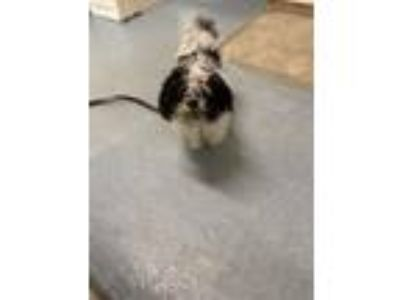 Adopt Doc a Shih Tzu, Mixed Breed
