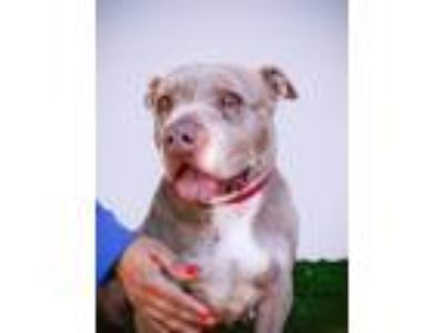 Adopt Ginger a Tan/Yellow/Fawn Pit Bull Terrier / Mixed dog in Rowland Heights