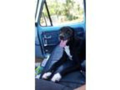 Adopt Frankie Dog a Black - with White Labrador Retriever / German Shorthaired