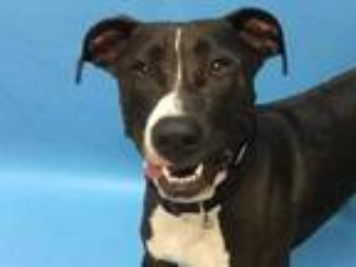 Adopt Esther a Black American Pit Bull Terrier / Great Dane / Mixed dog in Coon