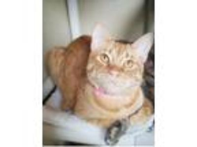 Adopt Brie a Domestic Short Hair