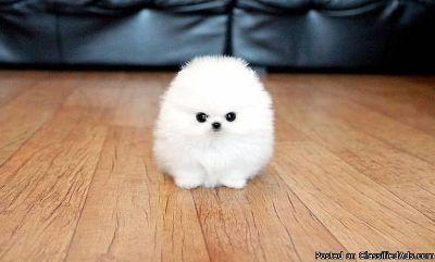 Gorgeous Teacup Pomeranian puppiess