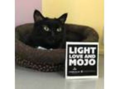 Adopt Mew a Domestic Short Hair