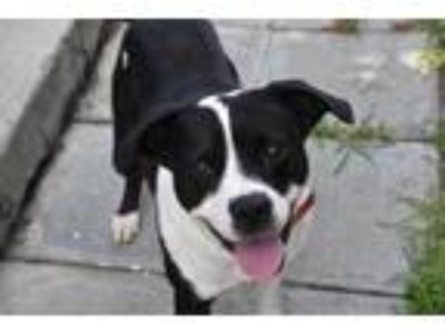 Adopt Panda a Black Border Collie / Mixed dog in North Myrtle Beach