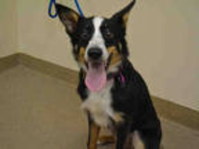 Adopt ELLIE a Tricolor (Tan/Brown & Black & White) Australian Shepherd /