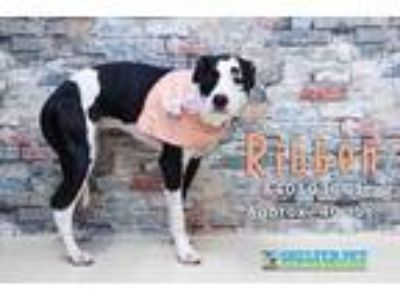 Adopt Ribbon G27 11-9-18 a Black American Pit Bull Terrier / Mixed dog in San
