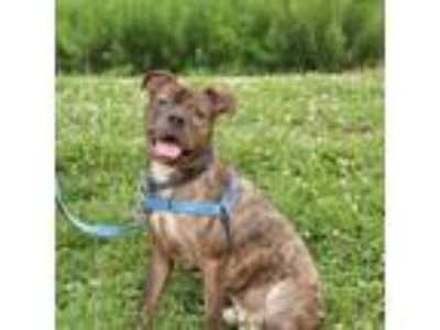 Adopt Giuseppe a Brown/Chocolate American Pit Bull Terrier / Mixed dog in