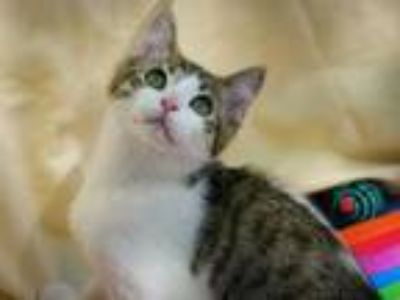 Adopt Lily Flower a Domestic Short Hair