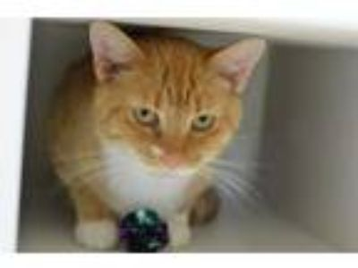Adopt Chevron 141240 a Domestic Short Hair