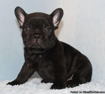 AKC Blue/Choco/Tan Carrier French Bulldog Puppy Boy (Bear)