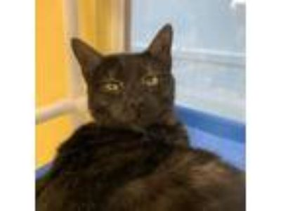 Adopt Glenwood a All Black Domestic Mediumhair / Domestic Shorthair / Mixed cat