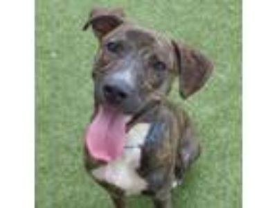 Adopt CHARLIE a Plott Hound, Mixed Breed