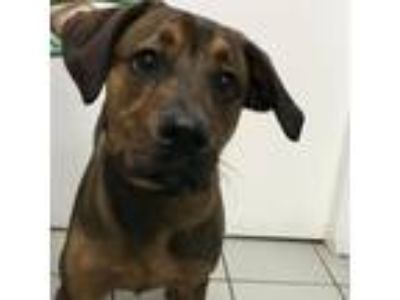 Adopt Cash a Brown/Chocolate Labrador Retriever / Rottweiler / Mixed dog in