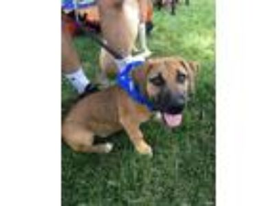 Adopt Brady a Tan/Yellow/Fawn - with Black Hound (Unknown Type) / Shepherd