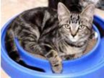 Adopt Rascal a Domestic Short Hair
