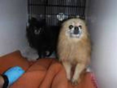 Adopt CREAMPUFF a Tan/Yellow/Fawn Pomeranian / Mixed dog in Sanford