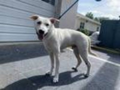 Adopt APPA a White Labrador Retriever / Husky / Mixed dog in St.