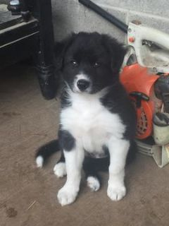 Border Collie PUPPY FOR SALE ADN-80975 - Border Collie Puppies