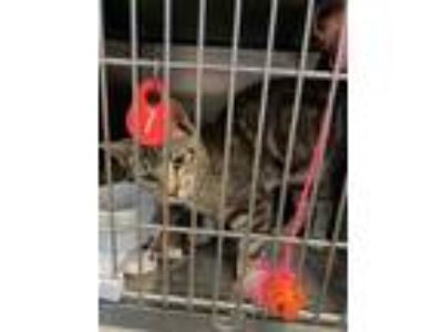 Adopt PETEY a Gray or Blue American Shorthair / Domestic Shorthair / Mixed cat