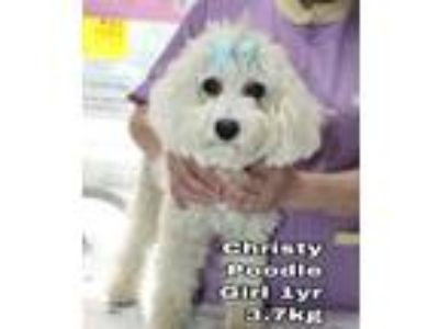 Adopt Christy from Korea a White Poodle (Miniature) / Mixed dog in Seattle