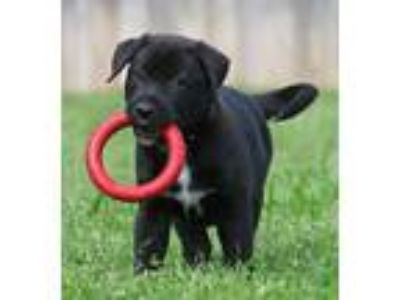 Adopt Frechette Puppy a German Shepherd Dog, Labrador Retriever