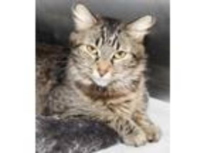 Adopt 30059 - Lilo a Maine Coon / Mixed cat in Ellicott City, MD (25498097)