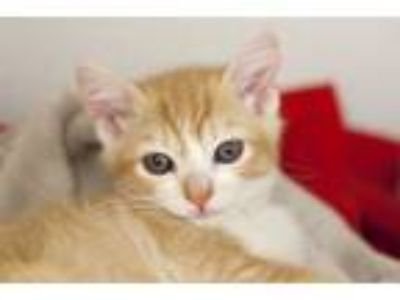 Adopt Oro a Domestic Short Hair