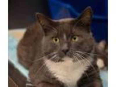 Adopt Willie a Gray or Blue Domestic Shorthair / Domestic Shorthair / Mixed cat