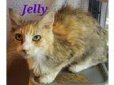 Adopt Jelly a Domestic Long Hair