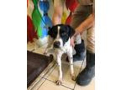 Adopt Spot a German Shorthaired Pointer, Mixed Breed