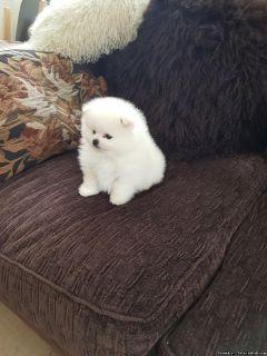 Pretty Face Tiny Pomeranian Pups Available
