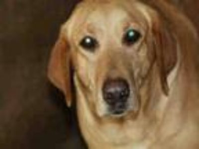 Adopt Sonnie a Labrador Retriever