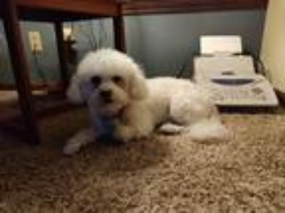 Adopt Mahi a White Bichon Frise / Mixed dog in Rochester, NY (25222198)