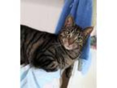 Adopt Hank a Domestic Short Hair