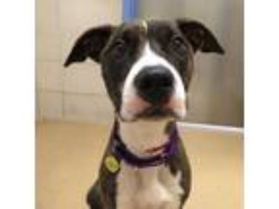 Adopt Nala a Pit Bull Terrier, Mixed Breed