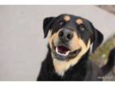 Adopt Crowley a Black Rottweiler / Shepherd (Unknown Type) / Mixed dog in