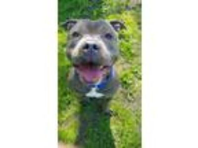 Adopt BOSS a American Staffordshire Terrier