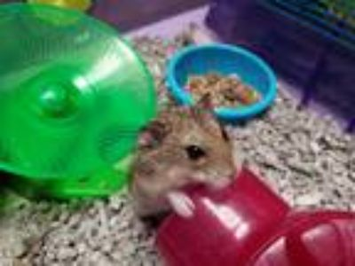 Adopt Chex a Hamster small animal in Oceanside, CA (25283445)