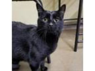 Adopt Sophie a All Black Domestic Shorthair cat in Meridian, ID (25581284)
